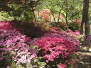 連休の山麓公園、入り口付近にツツジが咲く。 撮影日:2008年5月4日 撮影:管理人