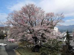 安富桜(やすとみざくら)